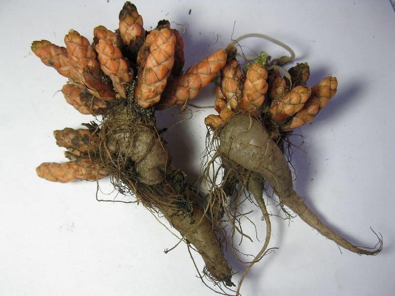 Фото корней кислицы