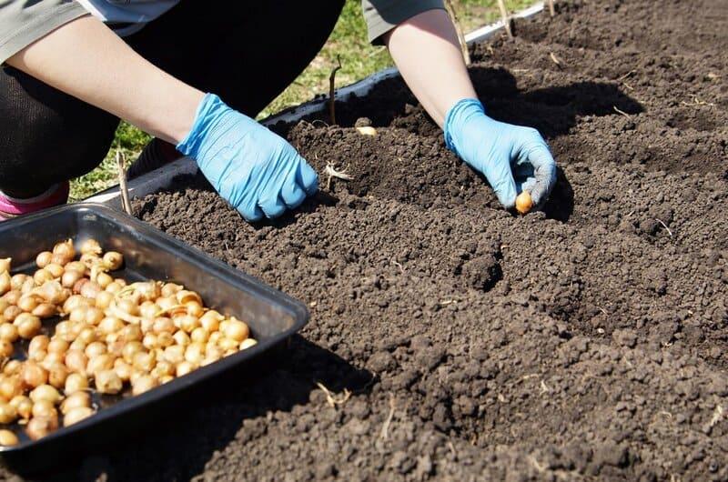 Фото посадки лука