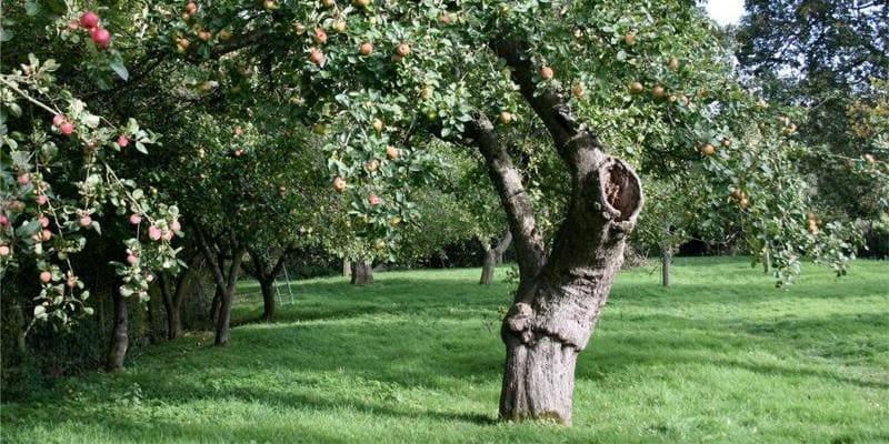 Фото старой яблони