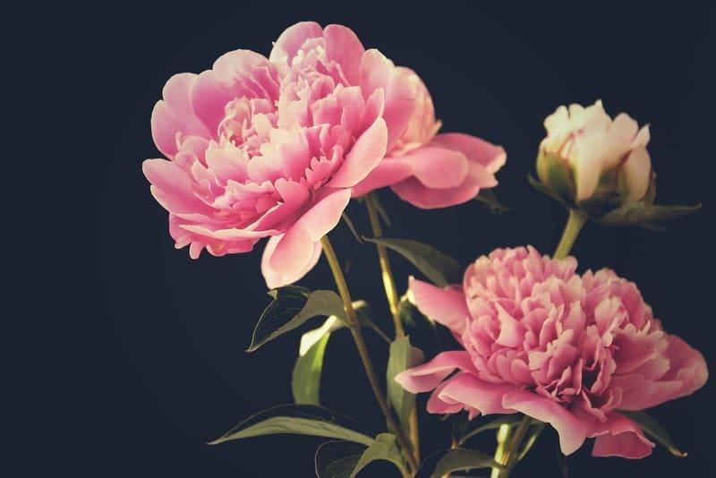 Фото цветения пионов