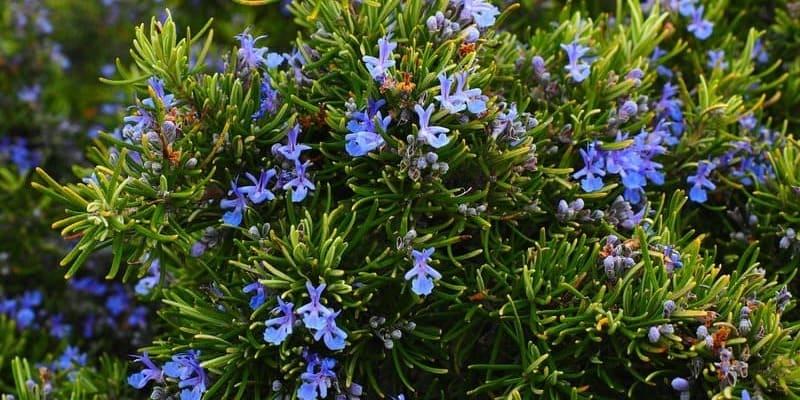 Фото цветения розмарина
