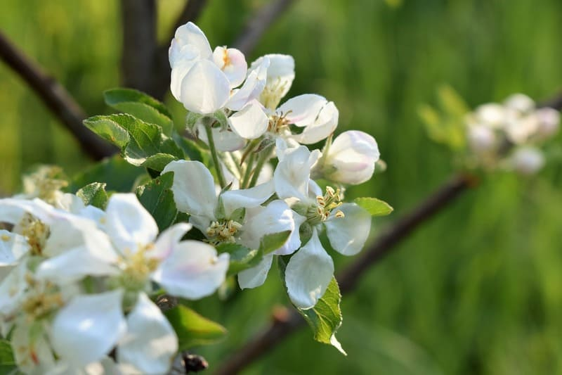 Фото цветения яблонь