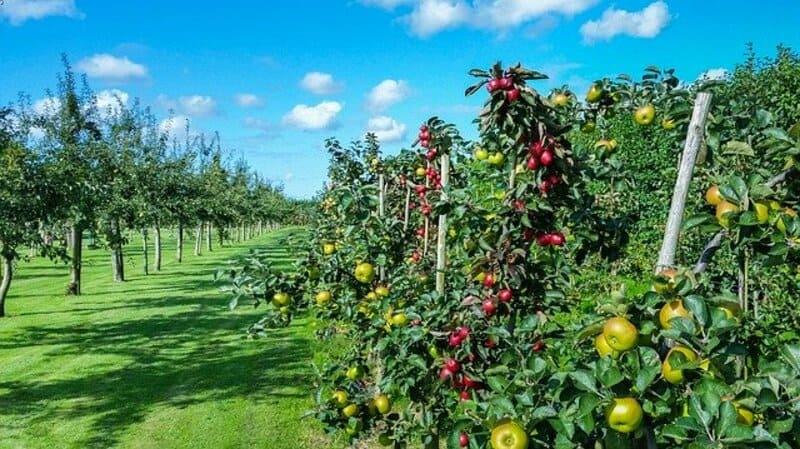 Фото яблони с яблоками
