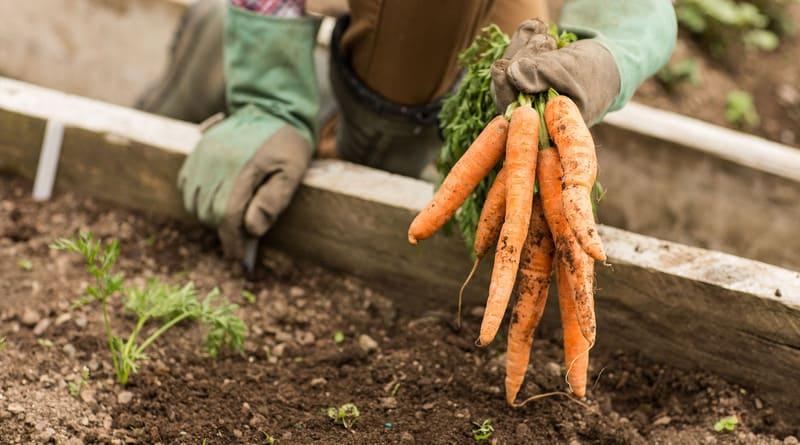 Фото моркови в руке