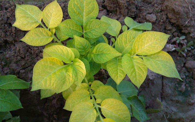 Фото пожелтевшего растения