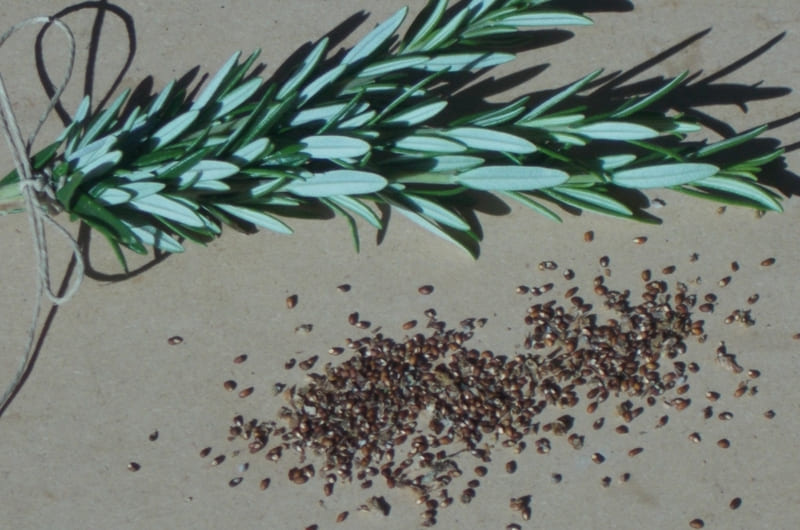 Фото семян розмарина