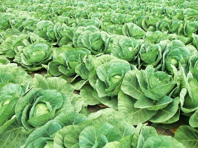 Фото капустных грядок