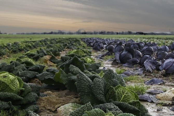 Фото капустного поля