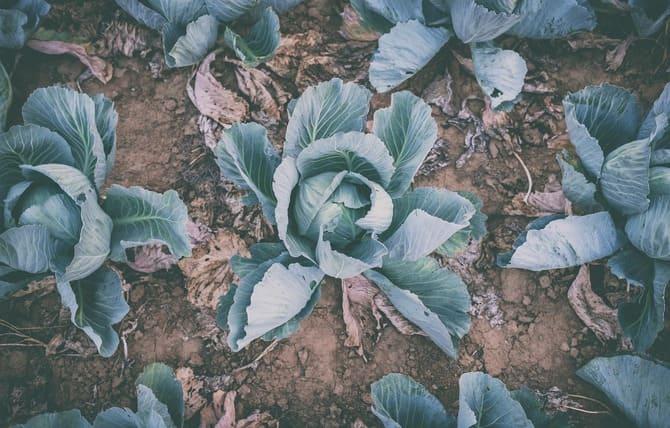 Фото кочанов капусты