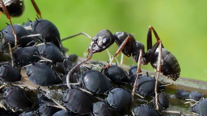 Фото тли и мураья