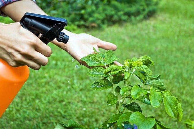 Фото опрыскивания растений