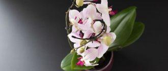 Фото орхидеи_главная