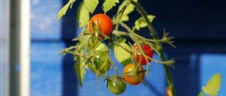 Фото подкормки помидоров в теплице_главная