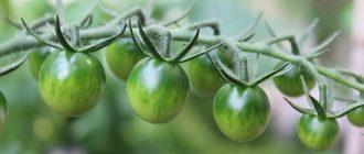 Фото томатов на ветке_главная