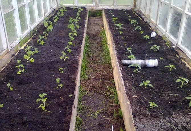 Фото посадки помидоров в теплицу