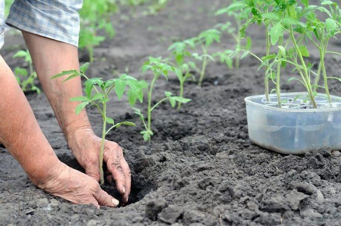 Фото посадки помидоров