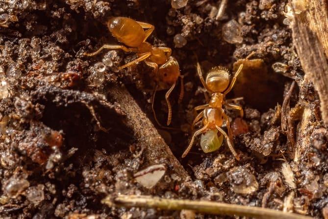 Фото рыжих муравьев