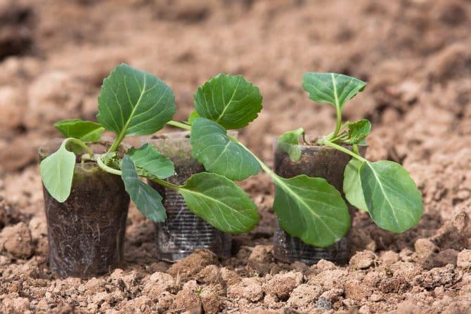 Фото саженцев капусты
