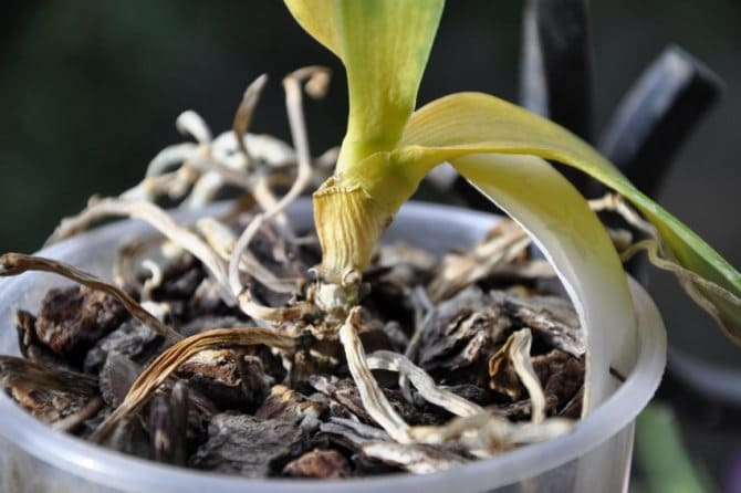 Фото сухой орхидеи