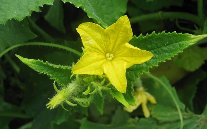 Фото цветения огурцов