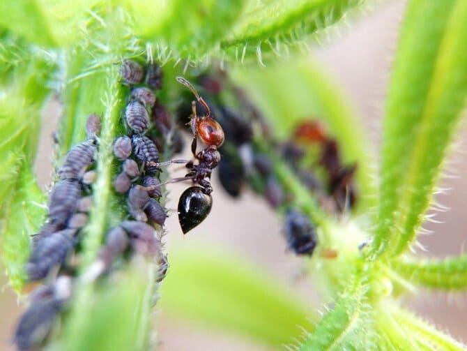 Фото тли и муравья