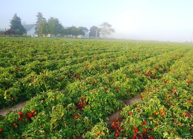 Фото высадки помидоров в открытый грунт