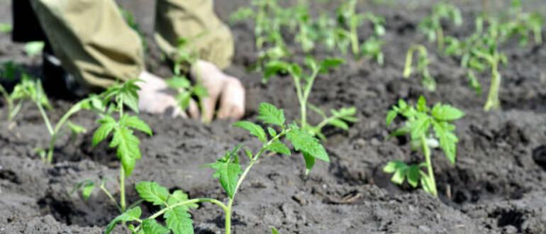 Фото высадки помидоров_главная
