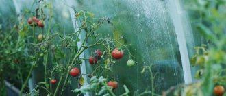 Фото помидоров в теплице_главная