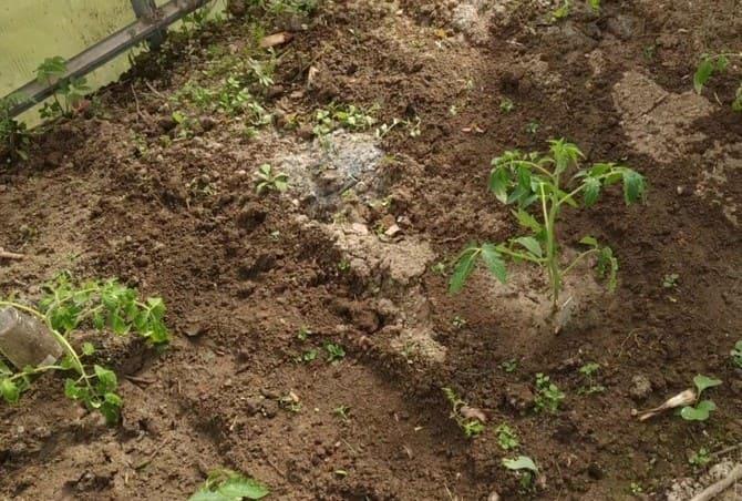 Фото высадки саженцев помидоров