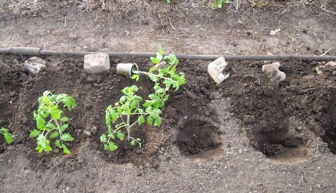 Фото высадки томатов