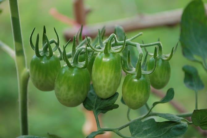 Фото зеленых помидоров