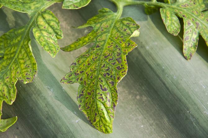 Фото болезней помидоров