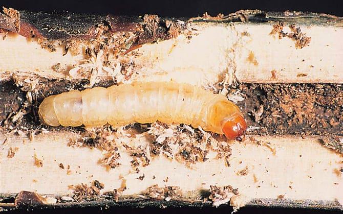 Фото гусеницы стеклянницы