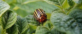 Фото колорадского жука_главная