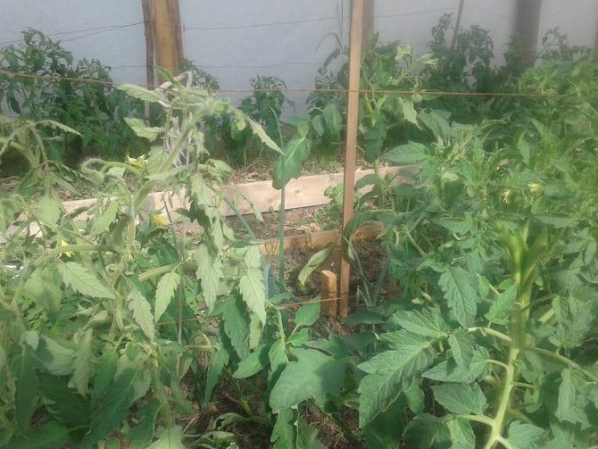 Фото нехватки питания томатов