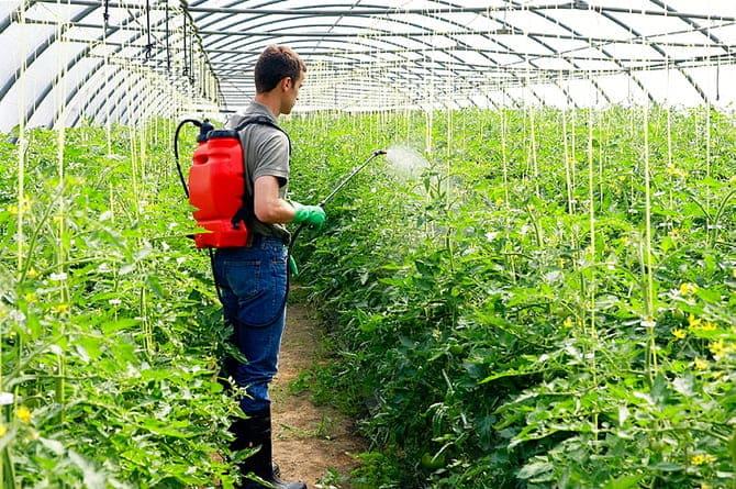 Фото опрыскивания цветущих томатов