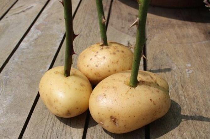 Фото розы в картошке
