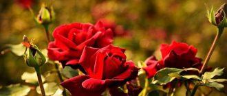 Фото розы_главная
