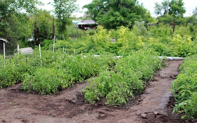 Фото томатных грядок