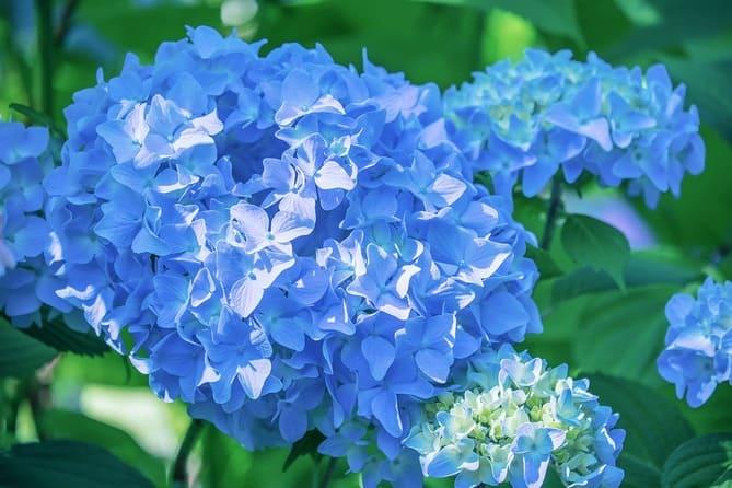 Фото голубой гортензии