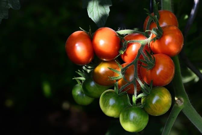 Фото красных и зеленых томатов