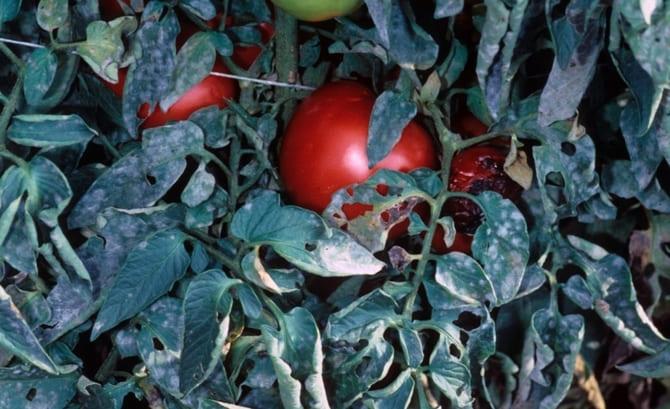 Фото на помидорах