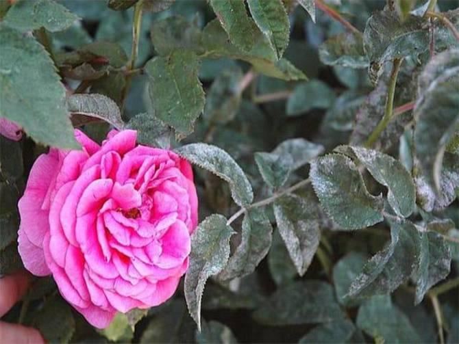 Фото болезни на розах