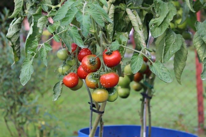 Фото подвязанных томатов