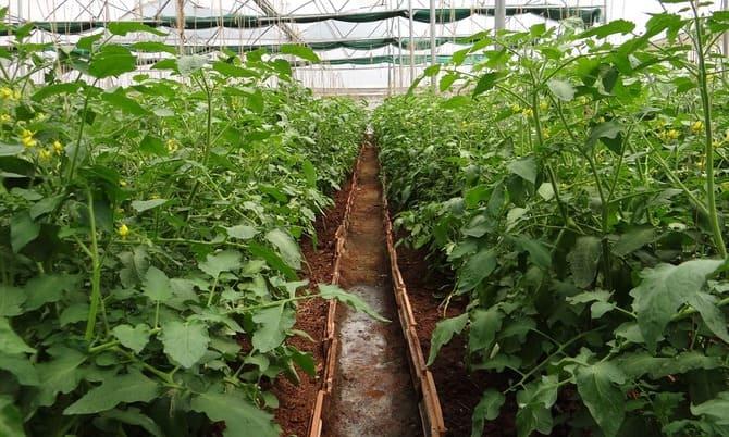 Фото подвязки томатов в теплице