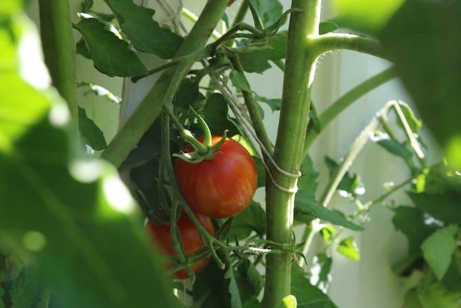 Фото подвязывания помидоров