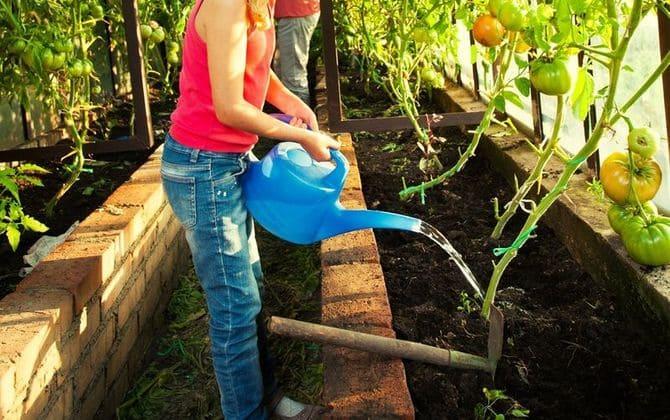 Фото полива помидоров