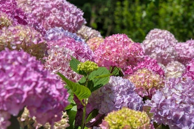 Фото цветов гортензии
