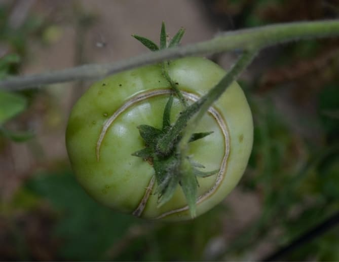 Фото трещины на неспелом помидоре