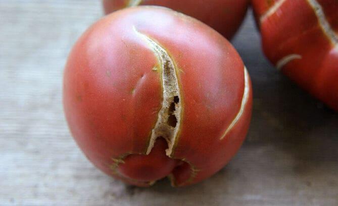 Фото трещин на помидорах